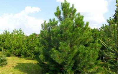 Сосна-черная-Pinus-nigra