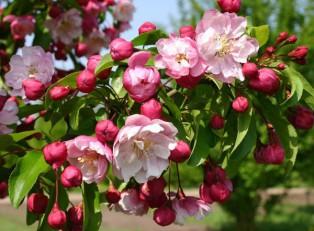 Цветение-сорта-Van-eseltine