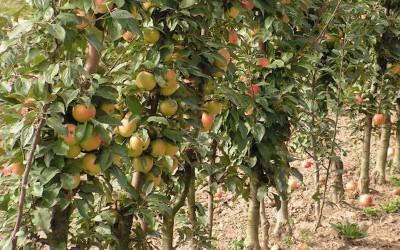 Яблоня-колоновидная-Валюта