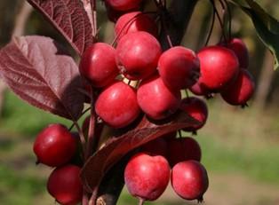 Яблоня-колоновидная-Райская