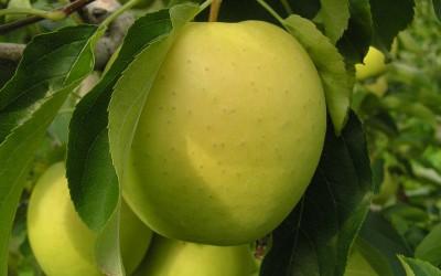 Яблоня-поздний-сорт-Ананасная