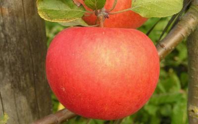 Яблоня-поздний-сорт-Белорусская-сладкая