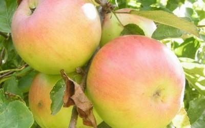 Яблоня-поздний-сорт-Вербная