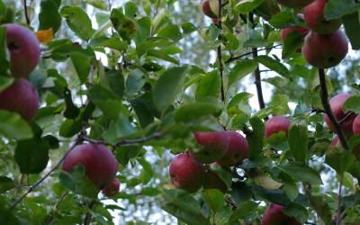 Яблоня-поздний-сорт-Дарунок