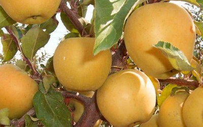 Яблоня-поздний-сорт-Заря-Алатау
