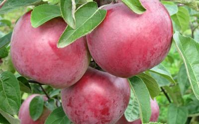 Яблоня-поздний-сорт-Имант