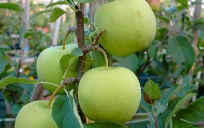 Яблоня-поздний-сорт-Коштеля