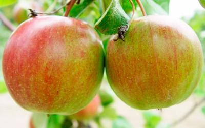 Яблоня-поздний-сорт-Лигол