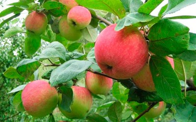 Яблоня-поздний-сорт-Память-Сюбаровой