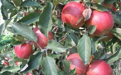 Яблоня-поздний-сорт-Топаз