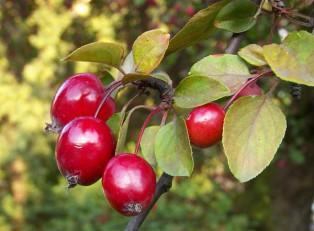 Яблоня-пурпурная-Eleyi