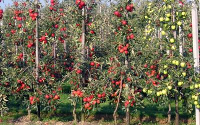 колоновидная-яблоня