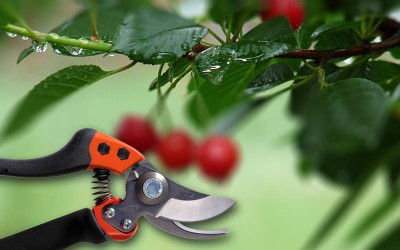 обрезка-вишни