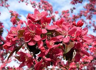 цветы яблони Нездвецкого
