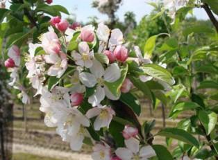 цветы яблони John Downie