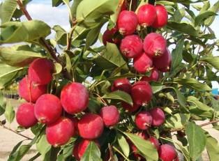 яблоня-Dolgo