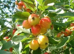 яблоня-John-Downie